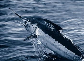 Marlin, black and blue, caught in hot water