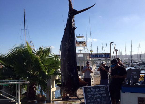 Fast Facts: Pacific Blue Marlin