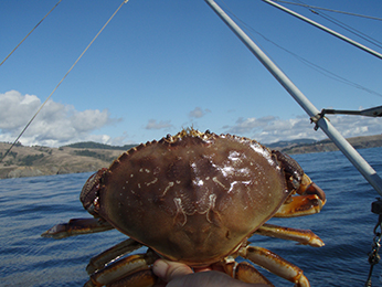 DFW lifts Dungeness Crab Health Advisory
