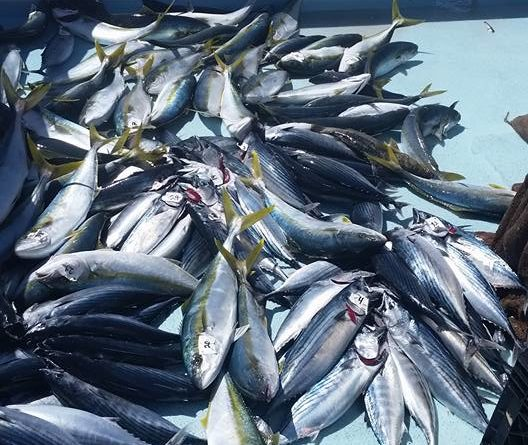 Bluefin, yellowtail, bonito and calico bass delight anglers