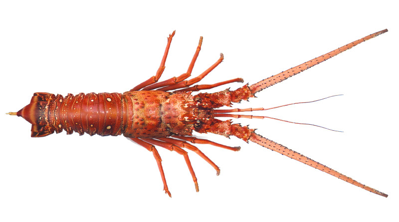 Top 5 places to catch spiny lobster (2010-2015)