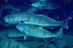 White Sea Bass Replenishment History
