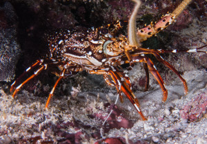 Spiny Lobster Fishery Management Plan adopted by state commission