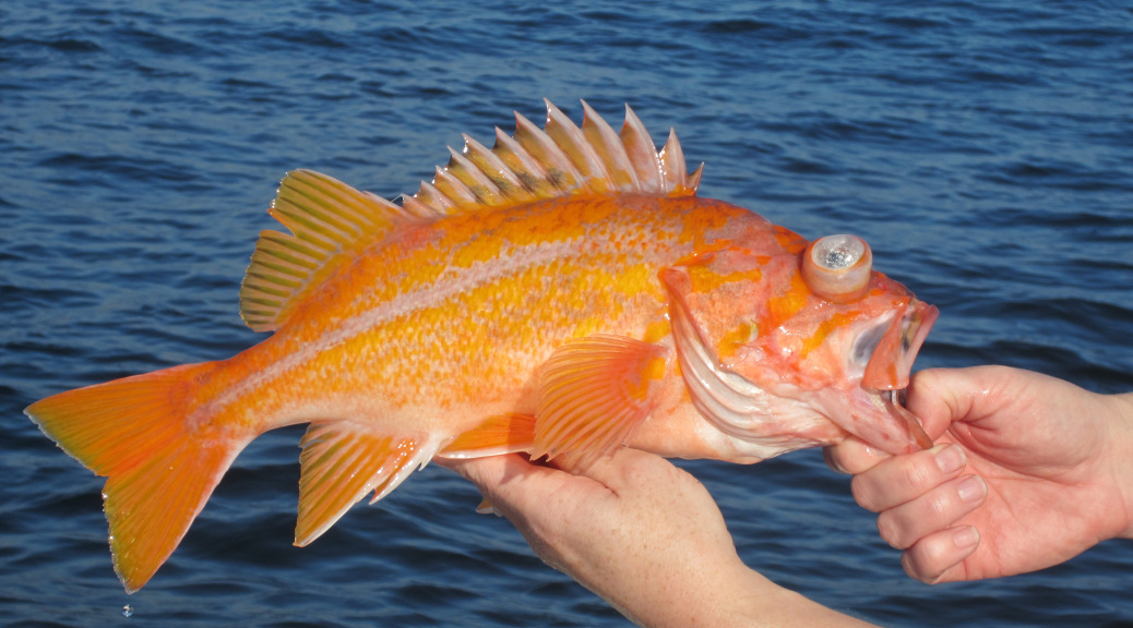 Dfw permits anglers to retain canary rockfish fishrapnews for California saltwater fish species