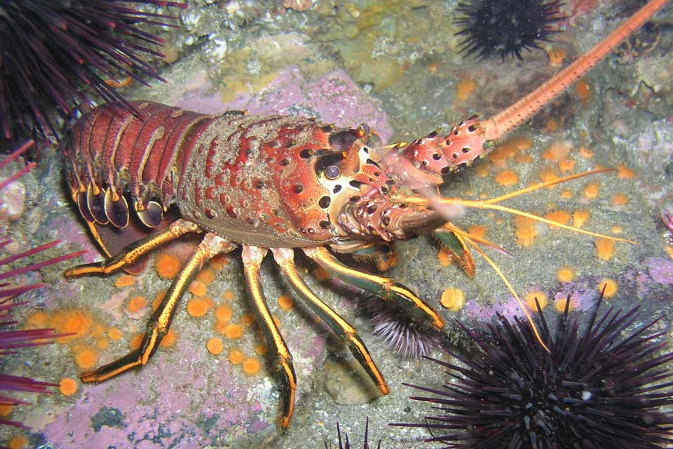 Spiny lobster report cards to be available aug 15 for for California fishing season 2017
