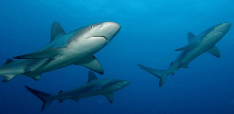Shark Fisheries Restrictions - National Marine Fisheries Service:NOAA photo