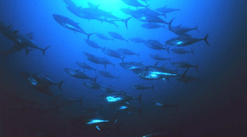 Pacific bluefin tuna Catch Limit - NOAA:Danilo Cedrone