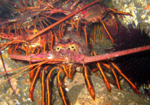 Spiny Lobster Opener - Derek Stein photo