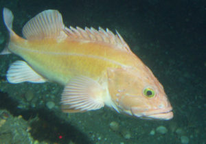 Groundfish NOAA
