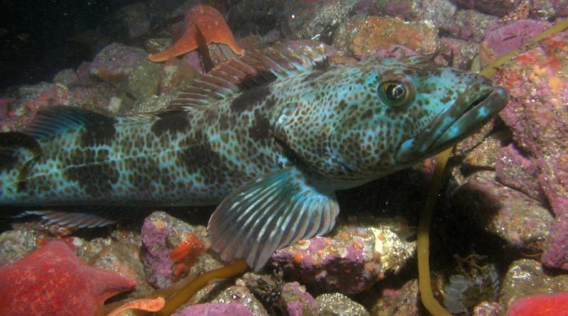 California Groundfish Regulations