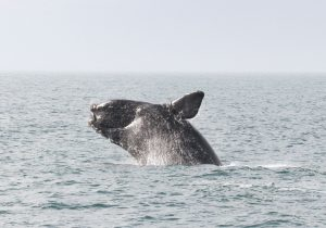 North American Right Whale